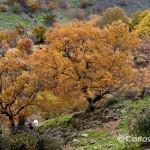 castanos-valle-de-ambroz