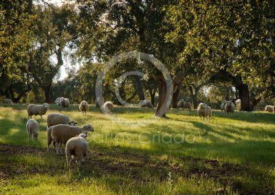 safari-extremadura-paisaje-ovejas-merinas